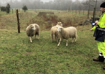 moutons plescop
